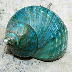 Turquoise Aqua Teal, sea shell More Shades Of Turquoise, Shades Of Blue, Turquoise Color, Shell Art, Sea Creatures, Tiffany Blue, Under The Sea, My Favorite Color, Sea Glass
