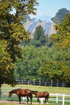 Avontuur Wine Estate - grazing stud horses + oaks. The R44 between Somerset West and Stellenbosch is visible in the background. For more information about Avontuur Estate - wine tasting as well as the restaurant, please visit their website:  www.avontuurestate.co.za/