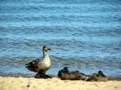 The ducks relax in the afternoon on the Shore