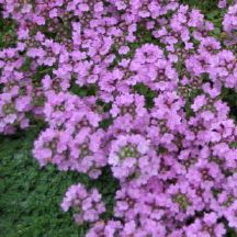 Creeping Thyme - Groundcover