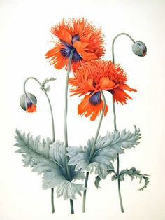 Scarlet Poppy - Watercolour by Christine Stephenson - Botanical Artist
