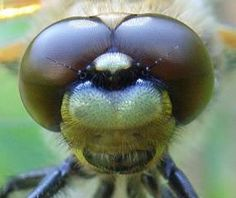 Dragonflies have very big eyes for their body's proportion. They use their huge eyes to hunt bugs and it helps them to be able to spot prey at a distance. Because their eyes are curved shaped, they can see in several different directions at a time.