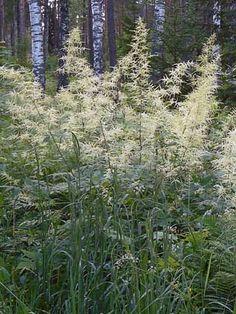 La barbe de bouc est une vivace couramment cultivée en Finlande et c'est l'espèce la plus connue du genre. C'est l'un des éléments les plus décoratifs des plates-bandes de vivaces : ses feuilles sont grandes et elle possède de nombreuses fleurs. En automne, elle arbore une couleur jaune automnale très étonnante.