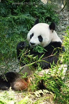 Headed to China and want to see the giant pandas but you are only going to be in Beijing? Not a problem! Here is how to visit these adorable pandas in Beijing. Big Panda, Panda Bears, Chicago Restaurants, China Travel, Beach Trip, Beach Travel, Photo Postcards, Beautiful Creatures, Animal Photography