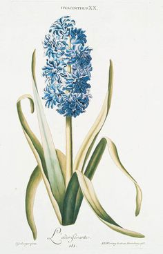 Hyacinthus XX 'L'Odorisérante. [Sweet smelling Hyacinth] Source: Hortvs, nitidissimis omnem per annvm svperbiens floribvs : sive, Amoenissimorvm florvm imagines ... / Christophorvs Iaco ...