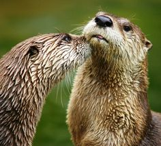 """Northern River Otter (Lontra canadensis) 