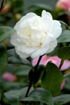 Camellia japonica 'Nobilissima' (Belgium, by 1834)