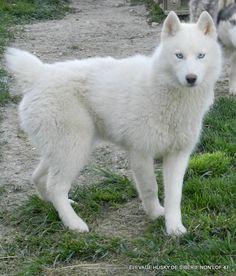 Élevage Husky De Sibérie Non lof 47