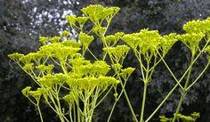 Patrinia scabiosaefolia 'Golden Lace' mygardengates.com