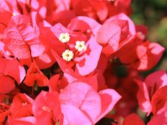 Primavera/ Buganvile