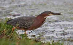 "A GREEN HERON on its way to dine. Green herons are one of the few species of animals that use tools: They float bait such as an insect, cracker, or piece of bread on the water near it. When a fish takes the bait, the heron takes the fish. The birds are also called ""shitepokes"" (pronounced with a long i) after their tendency to defecate as they are flushed. Click to eye its eye better. (4/27/13 Peace Valley, Missouri)"
