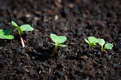 Container Gardening Vegetables, Vegetable Garden, Garden Plants, Permaculture, Horticulture, Gemüseanbau In Kübeln, Succession Planting, Comment Planter, Short Plants