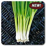 Organic Pride F1 Hybrid Bunching Onion