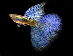 Live Tropical Fish, Superior Blue Grass HTD Guppy's (ATFG STRAIN) FREE SHIPPING
