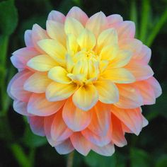 Endings bring new beginnings dahlia flowers and gardens peaches and dreams from swan island dahlias 5 beautiful peach flower that blends to a soft yellow in the centre not a good tuber maker mightylinksfo Choice Image