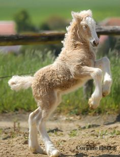 Palomino colored Gypsy Vanner foal rearing up. Playful horse.