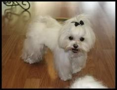 Maltese Dog Hairstyles   Maltese haircuts etc