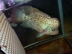 4 Inch Baby Show Quality Multi Color King Kamfa Flowerhorn #14