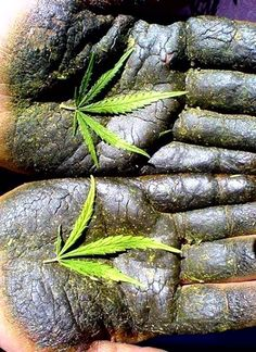 Hash hands :) Marijuana via | Mother Hemp Products | www.motherhempproducts.com