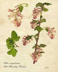Ribes sanguineum botanical print. Fine Art Nature Photography Print for Home Decor Wall Art. Ribes sanguineum or red flowering currant is native to the western United States and Canada. The fruit is edible but not popular and numerous cultivars have been introduced. It is an important source of food for wildlife. ~~ SELECT DESIRED SIZE USING THE OPTIONS BUTTON ABOVE ADD TO CART. Available in: 5x7, 8x10, 11x14, 12x18, 16x24, 20x30, 24x36 prints.