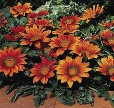Pase Seeds - Gazania Kiss Series Bronze Annual Seeds, $3.99 (http://www.paseseeds.com/gazania-kiss-series-bronze-annual-seeds/)