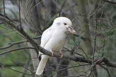 Albino Kookabura. Kookaburras (genus Dacelo) are terrestrial tree kingfishers native to Australia and New Guinea, which grow to between 28–42 cm (11–17 in) in length. The name is a loanword from Wiradjuri guuguubarra, onomatopoeic of its call. The single member of the genus Clytoceyx is commonly referred to as the shovel-billed kookaburra. via Cheryl Bonney Music