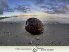 "Photo of the Day - January 05, 2012: ""A coconut washes ashore on an empty stretch of beach in Fiji."" Taken by Ethan Daniels (Berkeley, CA). Photographed October 2008, Kadavu Island, Fiji."