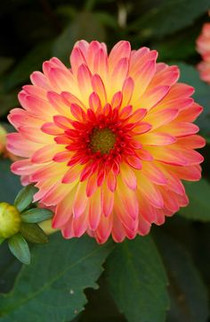 ~~Pink and Yellow Dahlia at Chanticleer Garden Wikipedia~~ Shade Flowers, Flowers Nature, Exotic Flowers, Amazing Flowers, Beautiful Flowers, Lilies Flowers, Tropical Flowers, Purple Flowers, Dahlia Flower