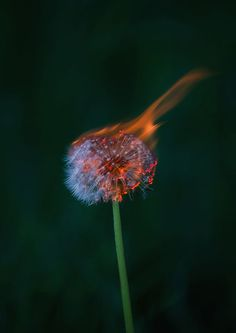 FREE SHIPPING, Nature photography, dandelion photography, fire potography, burning dandelion, A5