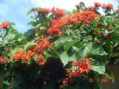 LUCIANA GIULIANI PAISAGISMO: Flores e Estações .Clerodendro