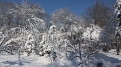 Video about Winter scene in park - snow covered trees in a sunny frosty day. Video of landscape, snow, snowfall - 65412131 Snow Covered Trees, Winter Scenes, Video Footage, Stock Video, Vectors, Sign, Stock Photos, Landscape, Park
