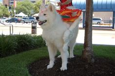 This dog is cosplaying as my favorite video game character, Okami Amaterasu. Too cute! I love this!