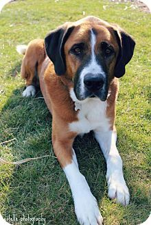 Harrisburg, PA - Anatolian Shepherd/St. Bernard Mix. Meet BEAR, a dog for adoption. http://www.adoptapet.com/pet/15048728-harrisburg-pennsylvania-anatolian-shepherd-mix