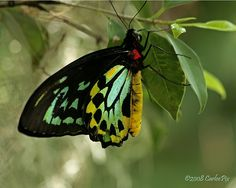 The Cairns Birdwing (Ornithoptera euphorion) is a species of birdwing butterfly endemic to northeastern Australia.