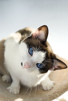Curious cat with incredible blue eyes.