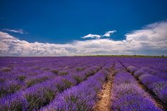 See the best 14 free high-resolution photos of Yoga Lavender Fields, Lavender Flowers, Lavender Varieties, Flower Meanings, Lavandula Angustifolia, Free Yoga, Nature Images, Hd Images, Loving Your Body