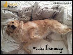 Monday?! But, I wasn't even finished with Saturday yet… #caseofthemondays #goldenretriever #rescuedog #adoptdontshop Rescue Dogs, Adoption, It Is Finished, Animals, Foster Care Adoption, Animales, Animaux, Animal, Animais