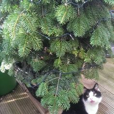 Portia thinks it's beginning to look a lot like Christmas. The living tree has arrived!