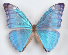 One Real Butterfly Blue Morpho Marcus Adonis Wings Closed Unmounted Papered for sale online Morpho Butterfly, Blue Morpho, Butterfly Art, Butterfly Watercolor, Watercolour, Perro Papillon, Borboleta Tattoo, Blue Butterfly Wallpaper, Most Beautiful Butterfly