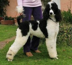 Parti-poodles are FABULOUS!!  The Black and White dog breedshttp://www.prodoggroomingsupplies.com/dog-forums/showthread.php?t=63368