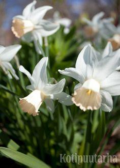 NARSISSIT – KUUKAUDEN KASVI 3/2015 Narsissit (Narcissus) kukkivat kymmeniä vuosia paikoissa, joissa herkemmät sipulikasvit taantuvat muutamassa vuodessa. Kasvisuku on innostanut myös jalostajia, sillä lajikkeita on jo noin 25 000. Lataa artikkeli ja lue lisää: narsissilajikkeet http://www.kotipuutarha.fi/puutarhavinkit/koristekasvit/narsissit.html