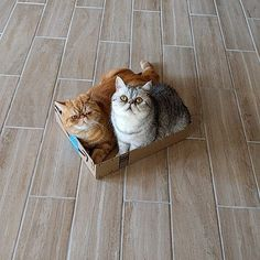 """Playing """"the floor is hot lava""""  #exoticshorthair #cat #cute #flatface #meow #mreggs #catlover #exoticsofinstagram #smushface #pizzaparty #churrosquirrel #spacecats #pugmob #pizzacat"""