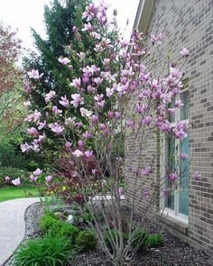 """Magnolia """"Galaxy"""" - Plants and Trees Online"""