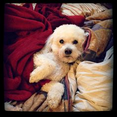 I don't feel like sniffing for bombs today ! bichon frise