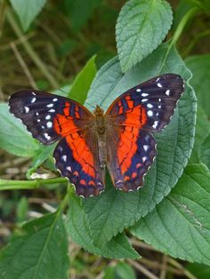 Scarlet Peacock (anartia amathea) A tropical species of South America and the Caribbean.