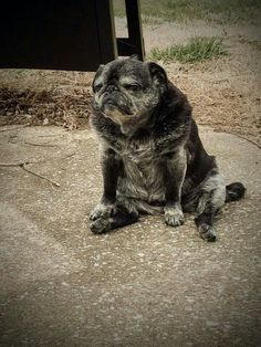 """Check out our website for more details on """"black pug puppy"""". It is a great spot to learn more. Pug Love, I Love Dogs, Old Pug, Sweet Dogs, Black Pug Puppies, Pug Mug, Pug Shirt, Pugs And Kisses, Baby Pugs"""