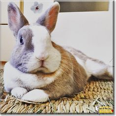 Tiffo the Dwarf Rabbit, the Pet of the Day