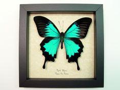 Papilio-Ulysses-Butterfly-Framed.jpg (950×720)