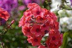 """Phlox paniculata """" Tequila Sunrise """" ® - flox, plamenka Zahradnictví Krulichovi - zahradnictví, květinářství, trvalky, skalničky, bylinky a koření"""
