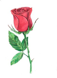 Valentine's day Baccarat red rose hand drawn watercolor illustration by RobertaTomei on Etsy